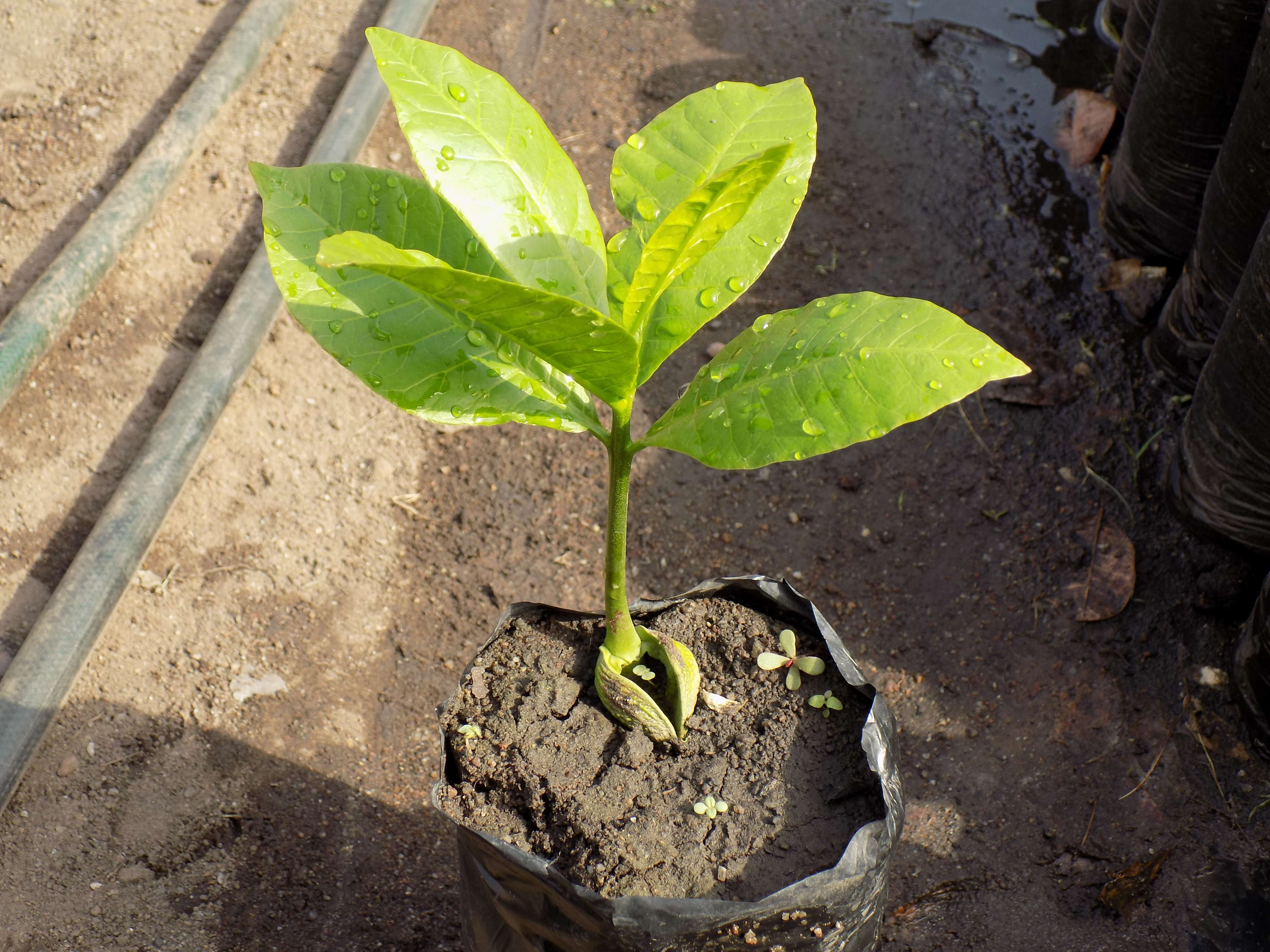 Production de matériel végétal : 9 234 plantules bientôt disponibles